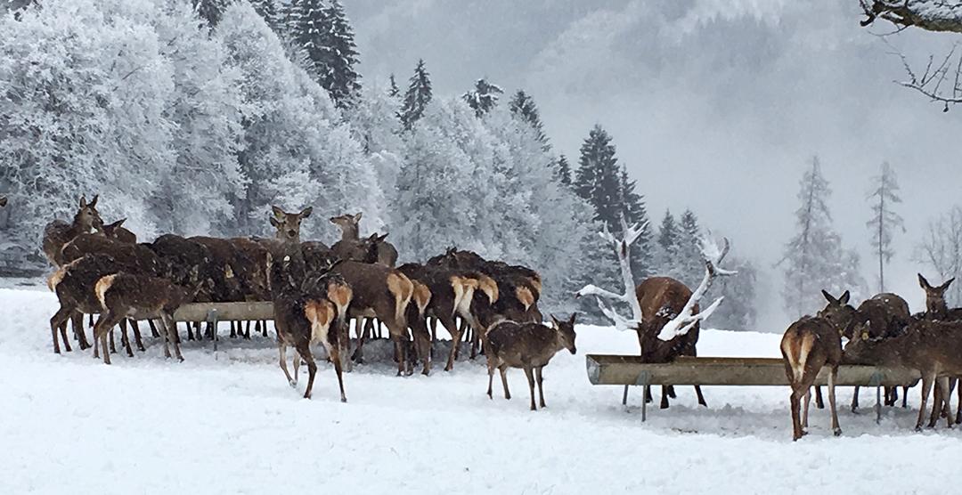 Wildfütterung im Winter